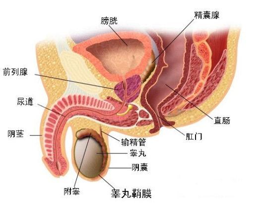 前列腺的位置